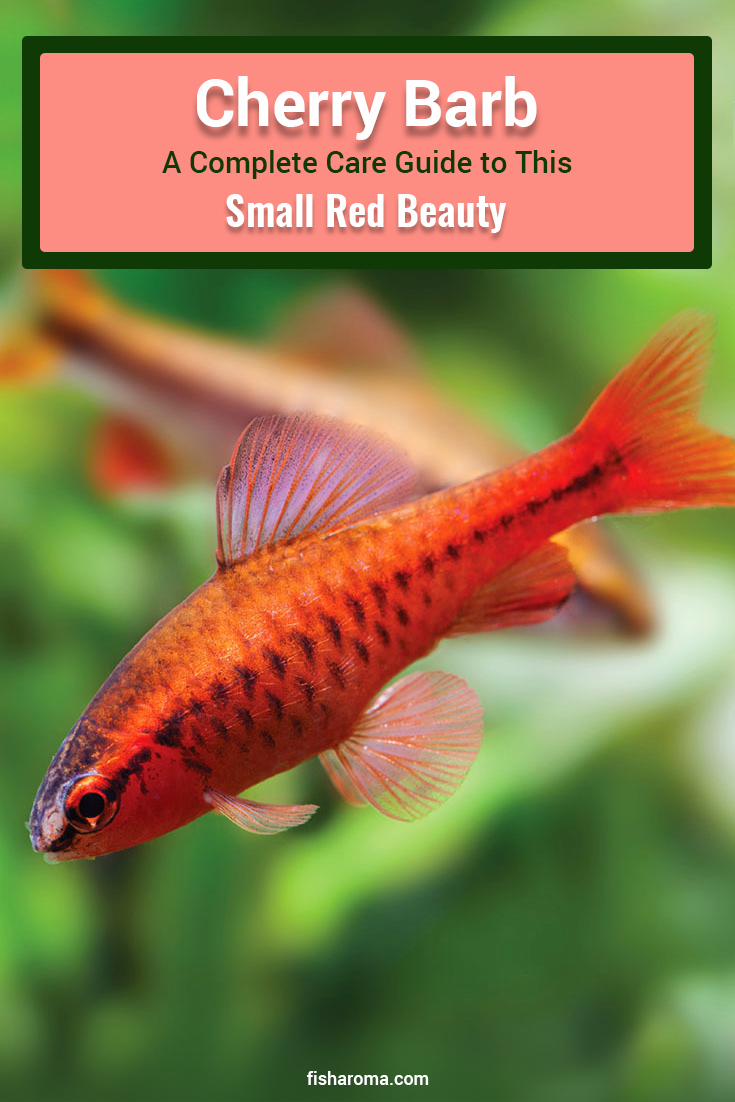 Cherry Barb A Complete Care Guide To This Small Red Beauty Fresh Water Fish Tank Community Fish Tank Tropical Fish Aquarium