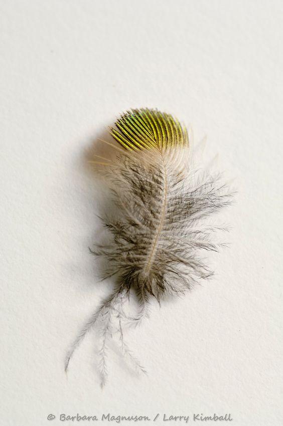 hummingbird feathers google search ink ideas pinterest