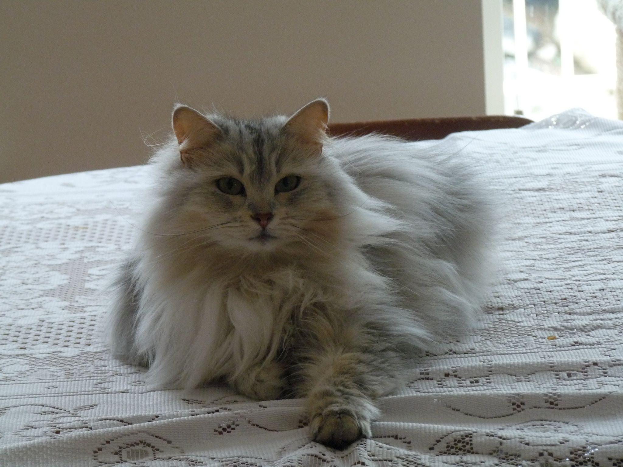 WillowSiberian Cat Siberian cat, Russian blue, Cats