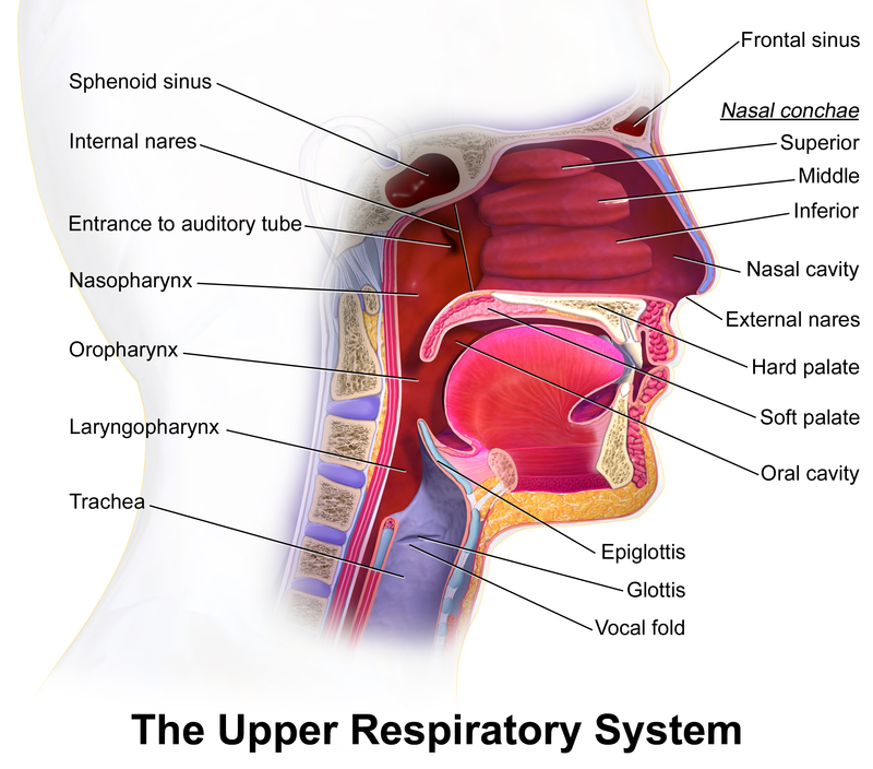 Stomach acid leaking in upper respiratory tract is cause of ear inf ...