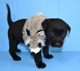 #GEORGIA #URGENT ~ Marbles is a #adoptable Black Labrador Retriever #puppy dog in #Pembroke -  in need of a loving #adopter or receiving #rescue at BRYAN COUNTY ANIMAL CONTROL - PEMBROKE BRANCH  144 Industrial Blvd   #WestPembroke GA 31321  Ph 912-653-3816