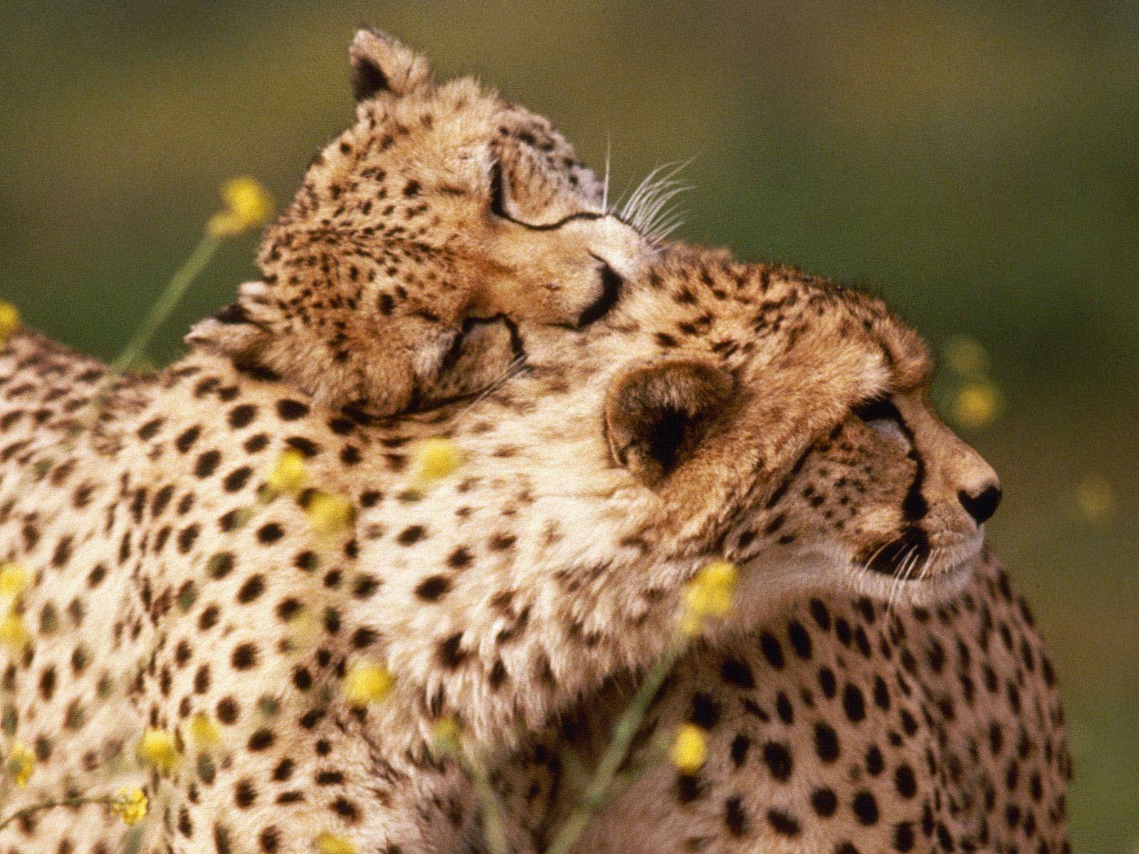 Cheetahs animal bird kingdom pinterest cheetahs cheetah hug a friend day 38 cute animals hugging voltagebd Image collections