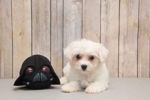 Maltese Puppy For Sale In Portsmouth Oh Adn 50154 On Puppyfinder