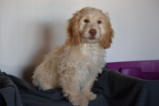 Cocker Spaniel-Poodle Miniature Mix Puppy For Sale In -3721