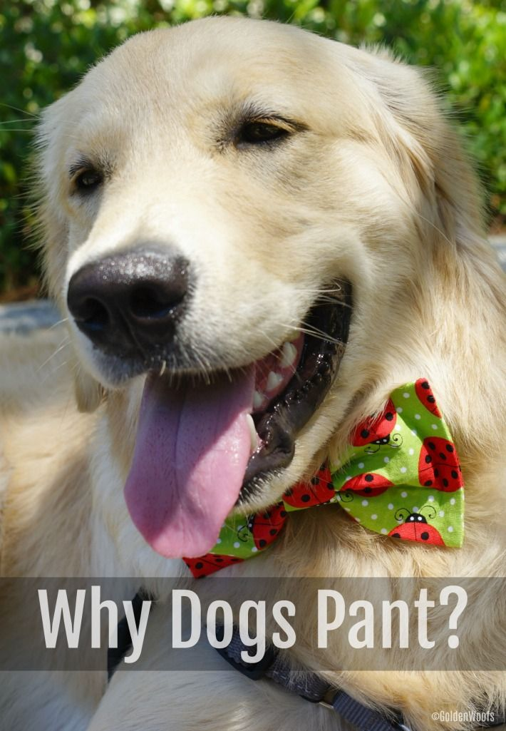 5 Reasons Why Dogs Pant Dog Pants Dogs Golden Retriever Training