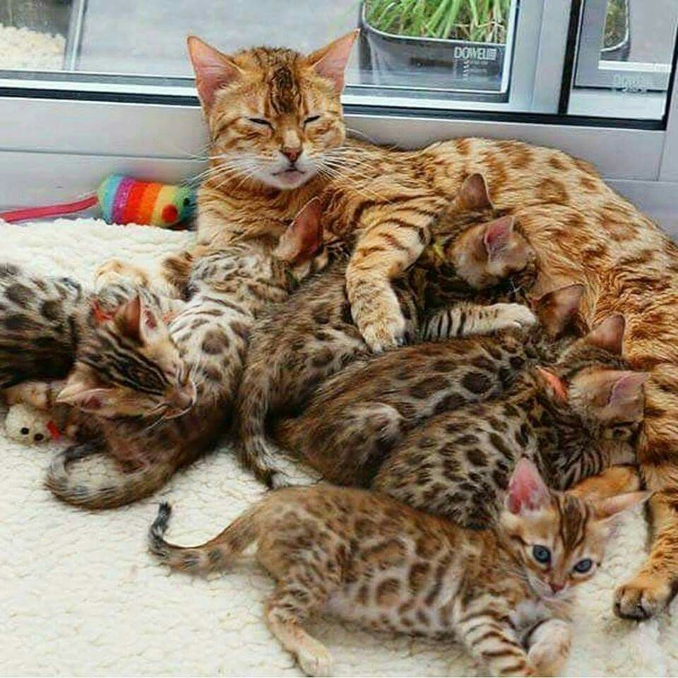 poor Mama! She has LOTS of babies to feed!... | Bengal Cat ...