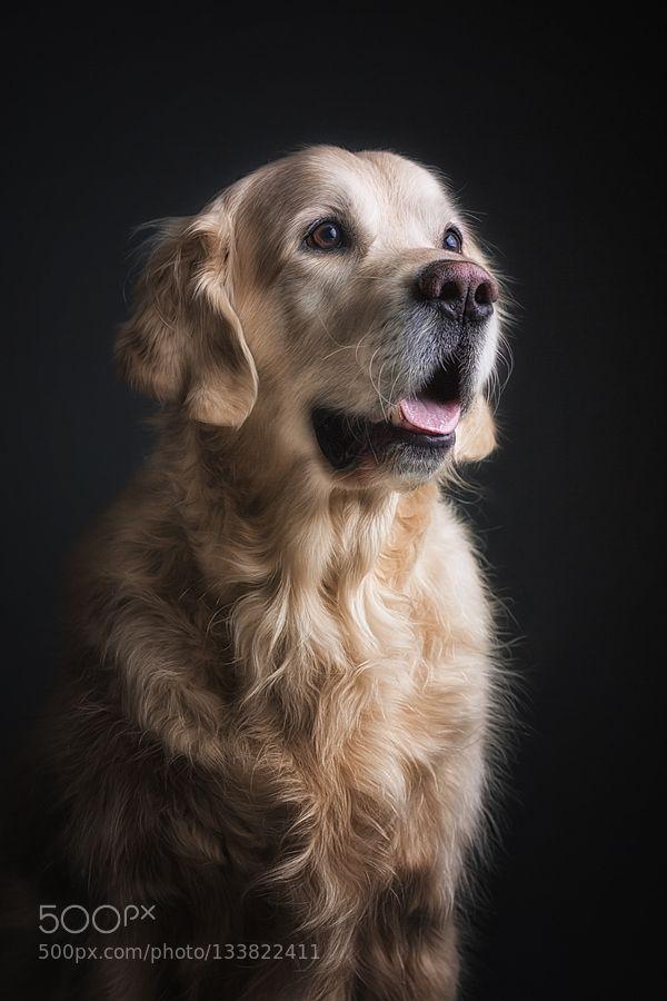 Golden Retriever Portrait By Dannyblock Please Like Http Fb Me