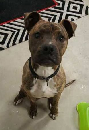 Available For Adoption Meet Winston A 10 Month Old Male Medium Boxer X Staffy Mix Located In Victoria Available For Interstate Animal Rescue Dogs Handsome Boys