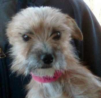 Cyndee Is An Adorable Little Female Cairn Terrier Brussels Griffon
