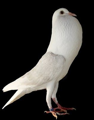 For More Watchme YNIB8Y This Is Aachen Cropper Pigeon