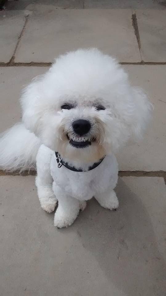 I Love Baxter S Smile Bichon Frise Dogs Bichon Frise Puppy