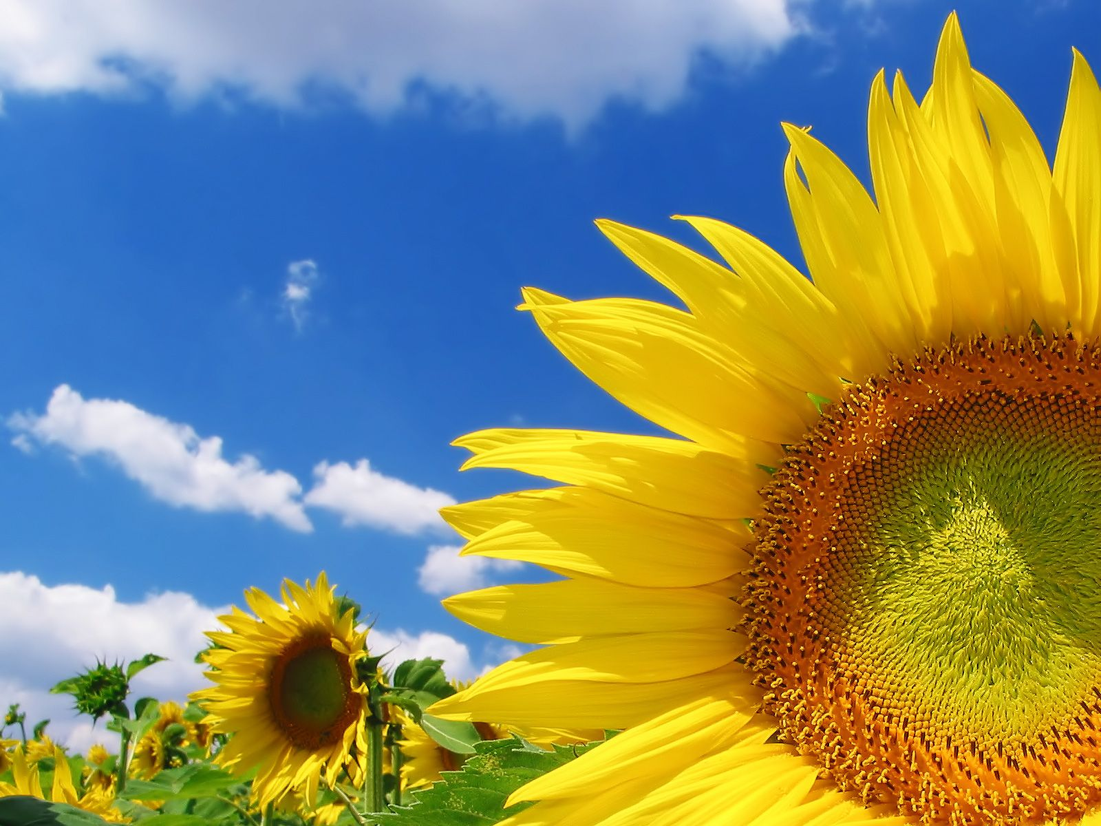 sunflower wallpaper | sunflower wallpaper hd, sunflower desktop