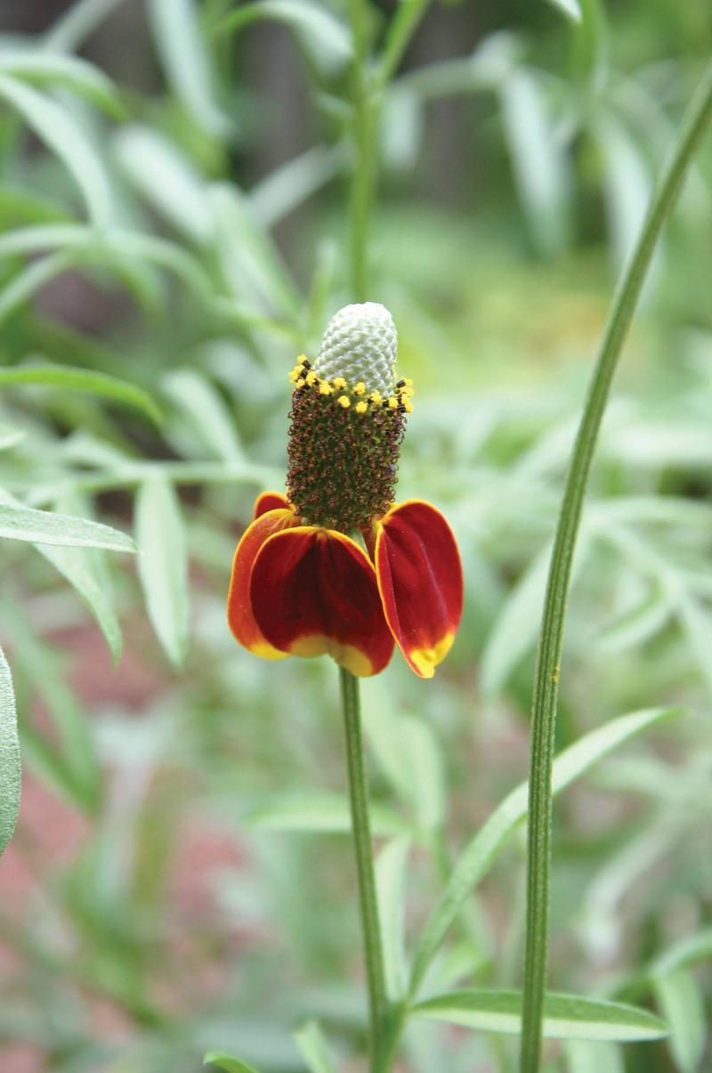 Mexican hat coneflower Mexican hat, Mexican, Flowers