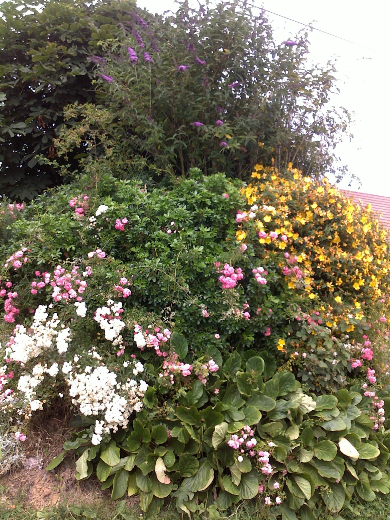 Rosier Blanc Rose Millepertuis Oranger Du Mexique Bergeria