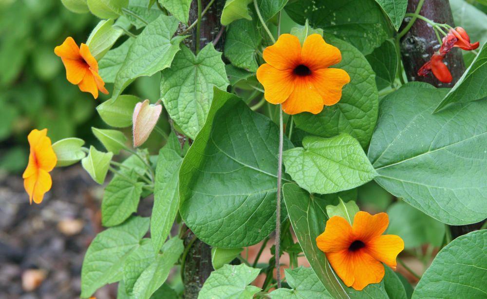 Winterharte Kletterpflanzen aus Samen ziehen