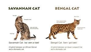 Where Can I Buy A Bengal Cat In Texas