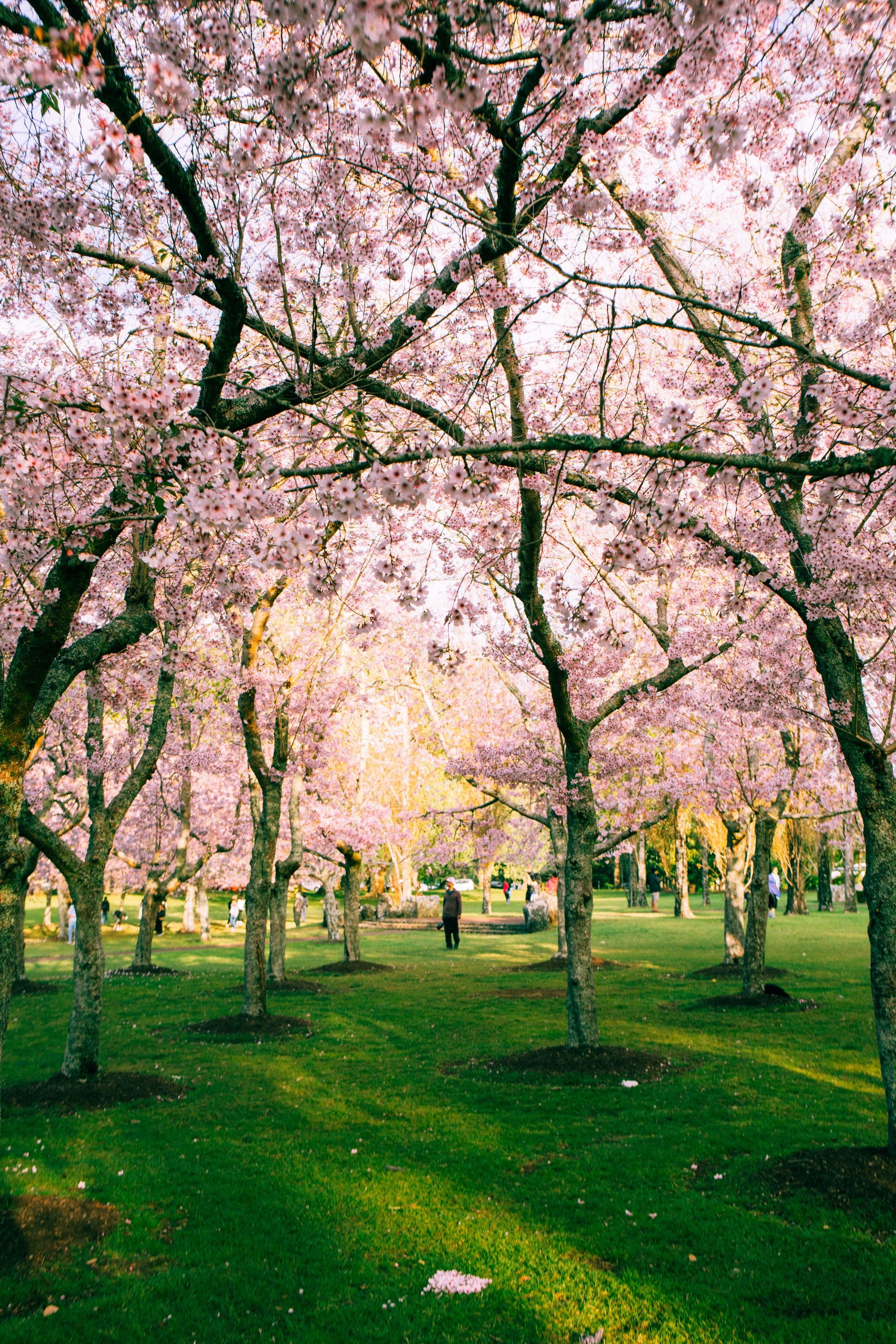 Thanks To Yustinus Subiakto For Making This Photo Available Freely On Unsplash Cherry Blossom Wallpaper Cherry Blossom Tour Blossom Garden