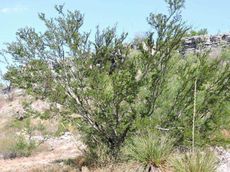 Vachellia Rigidula Acacia Rigidula Blackbrush Acacia Chihuahuan