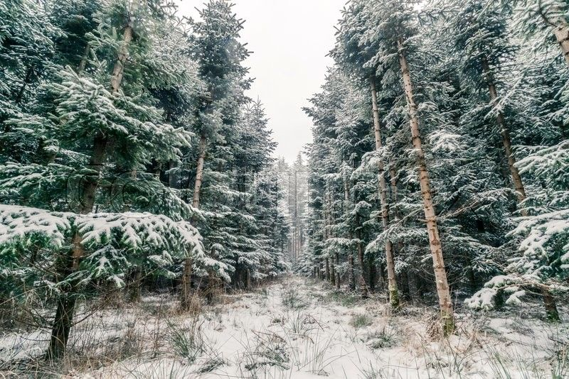 Pine Trees Covered With Snow In A Scandinavian Forest Stock Photo Colourbox On Colourbox Snow Pine Tree Image