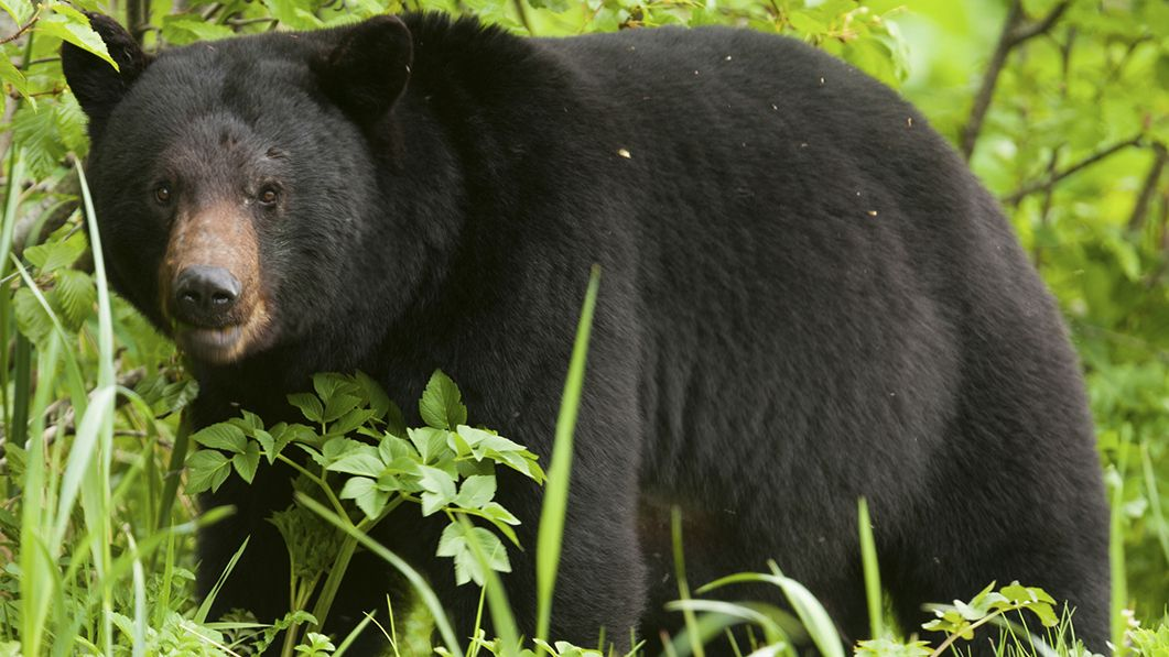 Watch Fearless Dog Chases Black Bear From New Jersey