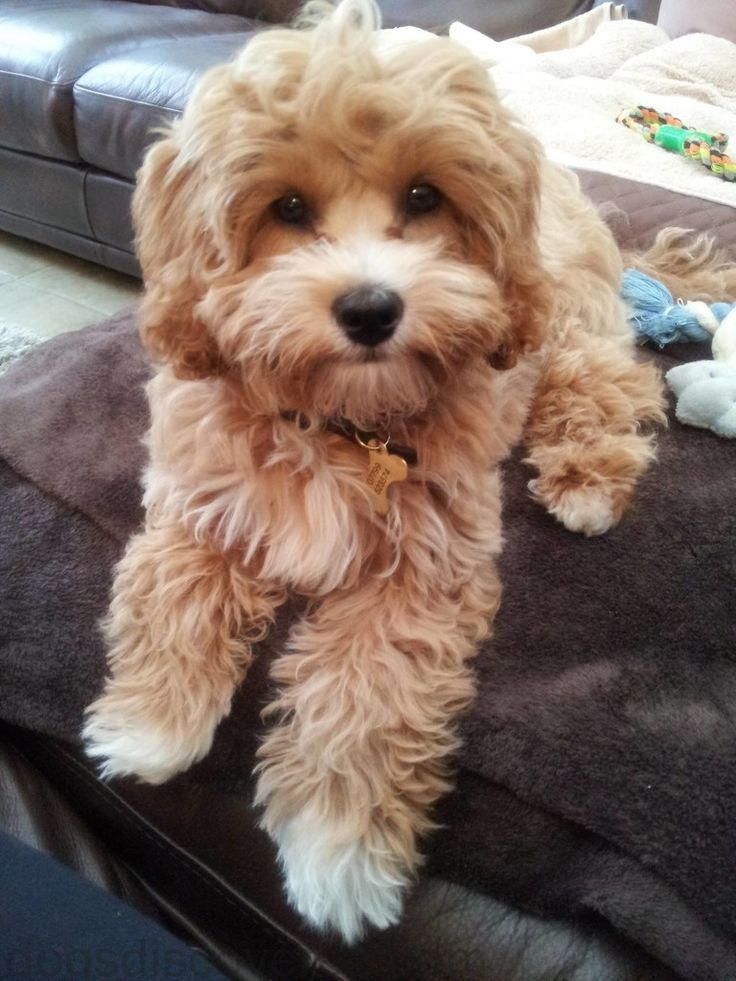 Image result for cavapoo grooming Cavapoo dogs