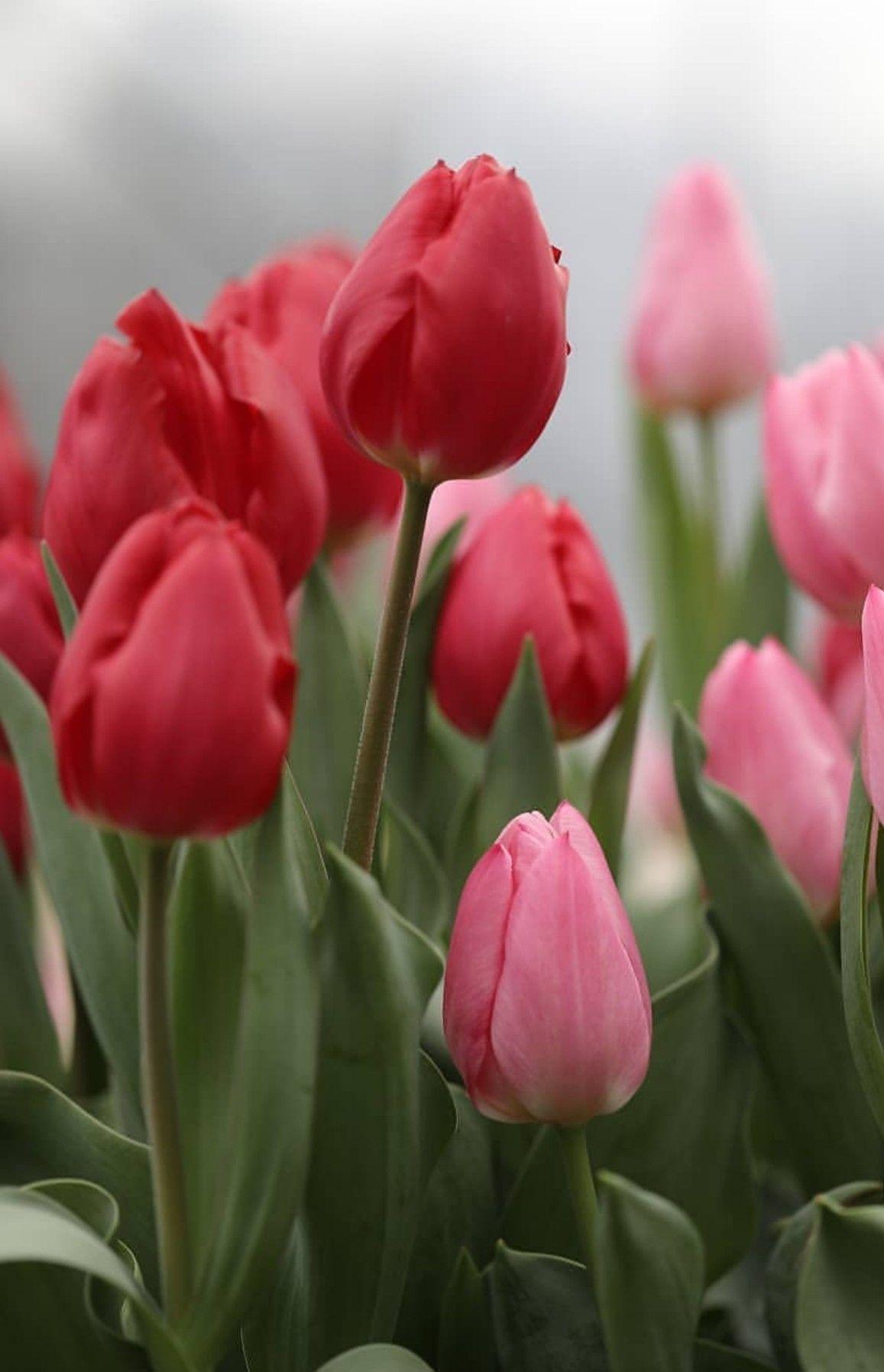 Pin By Akyanush Alulyan On բնական նկարներ In 2020 Tulip Flower Pictures Spring Flowers Beautiful Flowers