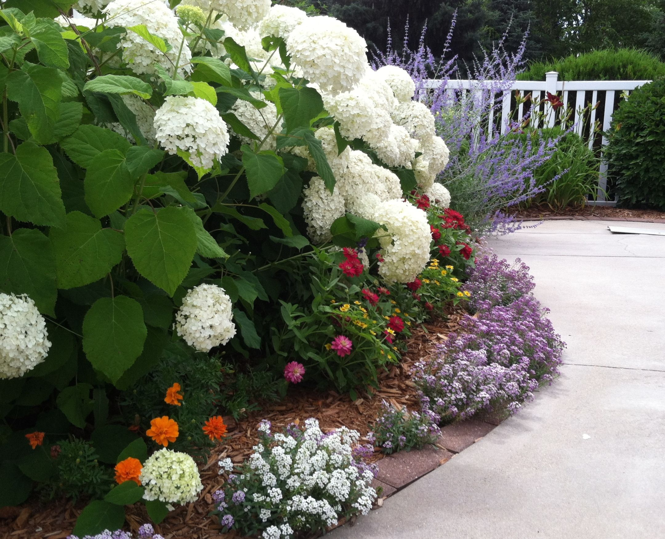 Annabelle Hydrangea With Perennial Russian Sage Annuals Alyssum And Orange And Pink Zinnias Hydrangea Landscaping Anabelle Hydrangea Front Flower Beds