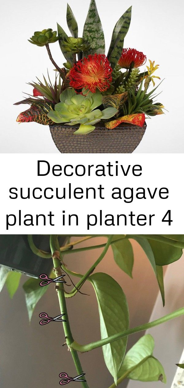 Decorative succulent agave plant in planter 4 How To Propagate Pothos Plants  Chickadees  Pinetrees Discover 17 privacy bushes and shrubs that are perfect for screening y...
