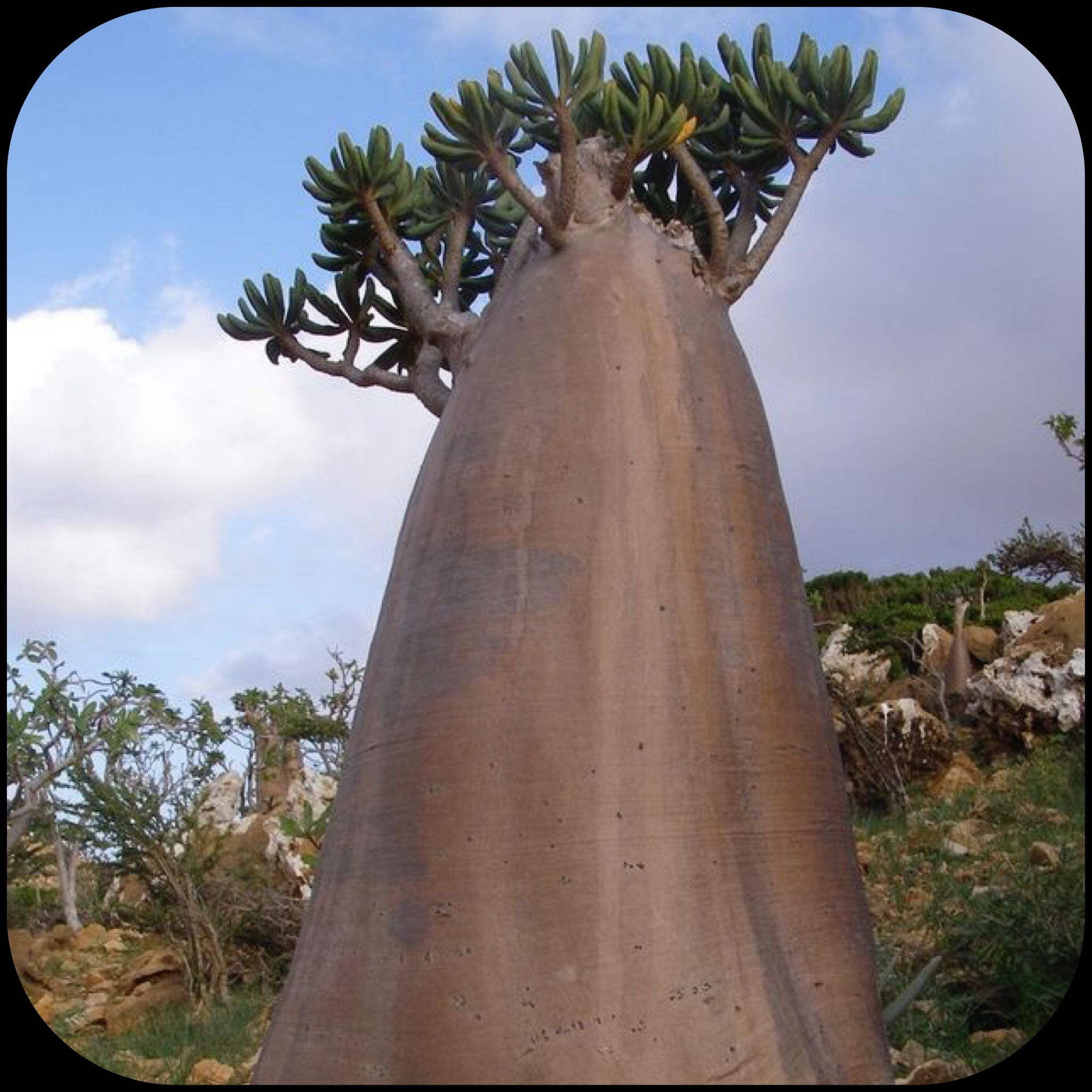Baobab Tree at Africa, Madagascar and Australia
