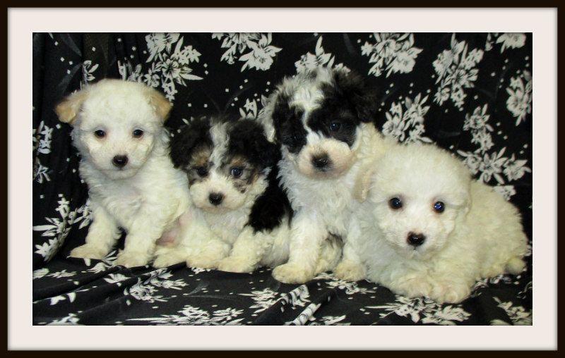 Mini Red Poodles For Sale Akc Poodles Scarlet S Fancy Poodles