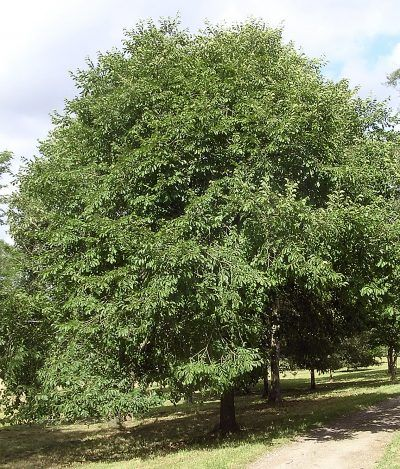 Japanese Elm Tree Care How To Grow A Japanese Elm Tree Elm Tree Deciduous Trees Garden Trees