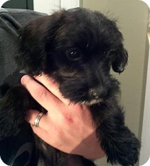 Pin By Cheryl Law On Dogs I Like Pets Adoption Shih Tzu Mix