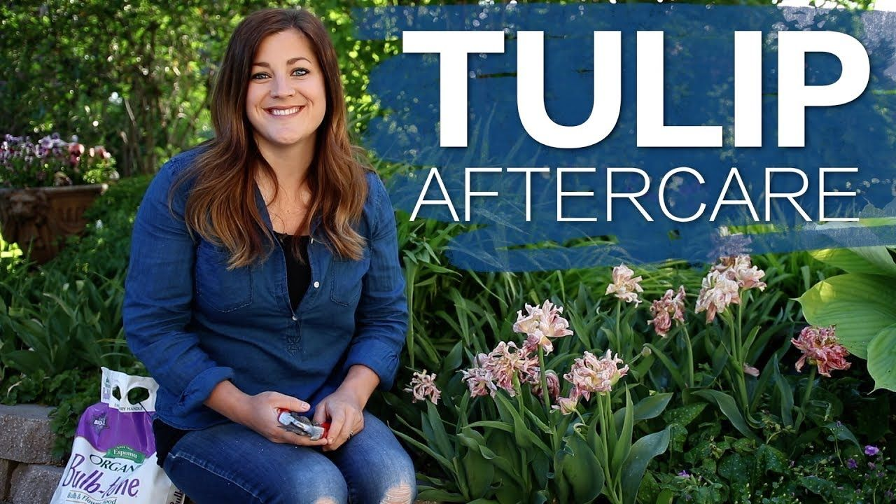 Tulip Aftercare Garden Answer Youtube Planting Tulips