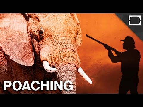 """Why Can't We Stop Poachers? In three years, over 100,000 elephants were poached for their ivory. With some species facing extinction, why haven't we stopped poaching? Learn More:Wildlife Trafficking 100,000 Elephants Killed by Poachers in Just Three Years, Landmark Analysis Finds Anti-Poaching Groups In Africa Becoming """"Militarized"""" To Protect Elephants, Rhinos, Small Arms Survey Shows Poaching By: TestTube News."""