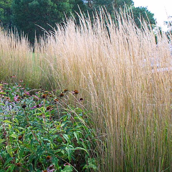 Calamagrostis acutiflora 39 karl foerster 39 karl foerster for Ornamental feather grass
