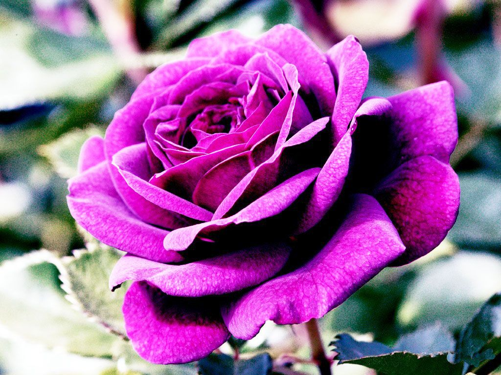 another one on my wall Rose seeds, Purple roses