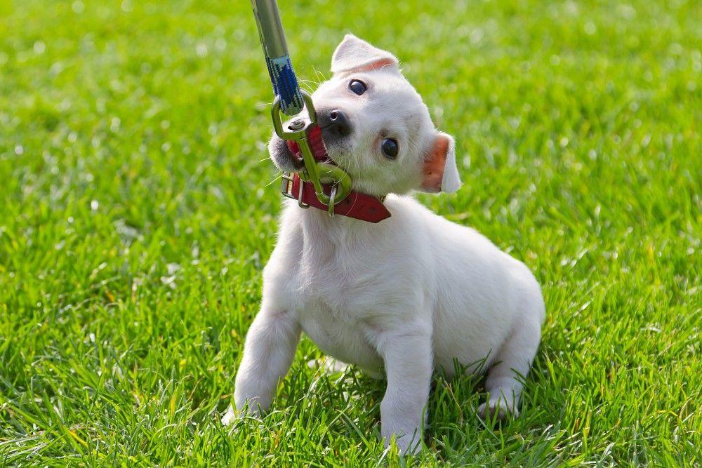 My Puppy Won't Walk on Leash! 3 Ways to Train Your Puppy