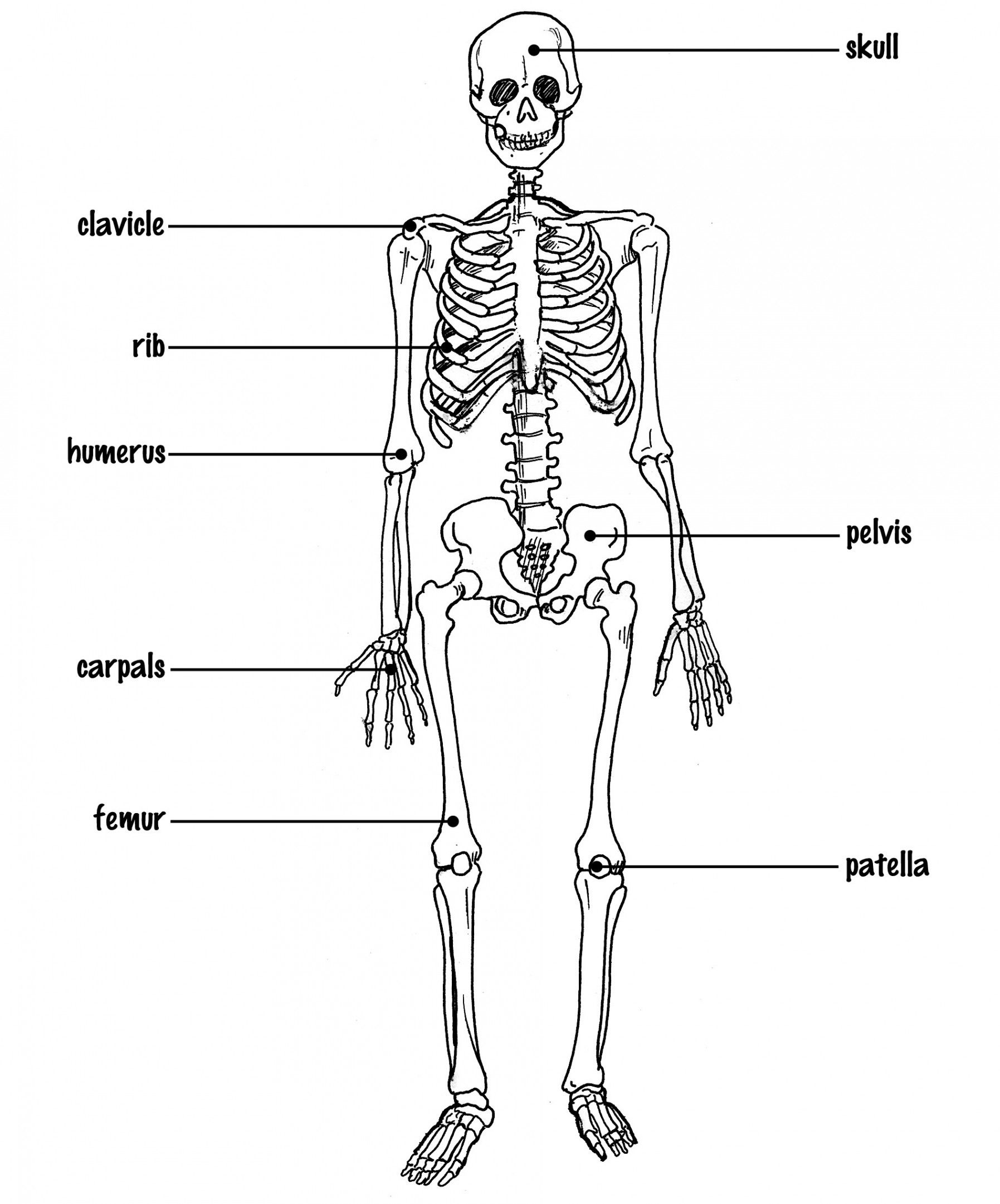 unlabeled human skeleton diagram unlabeled human skeleton diagram blank human skeleton stream the awesome web [ 1795 x 2162 Pixel ]