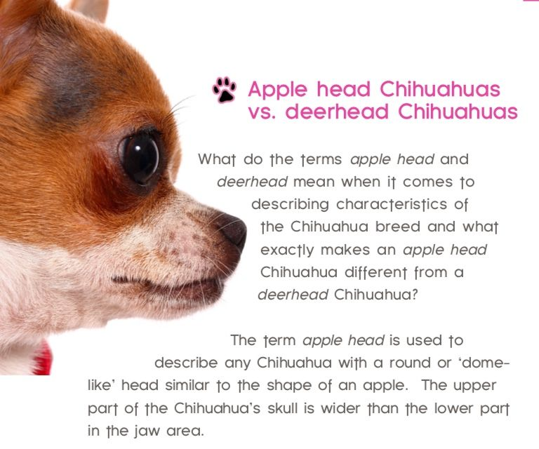 What Makes An Apple Head Chihuahua Different From A Deerhead