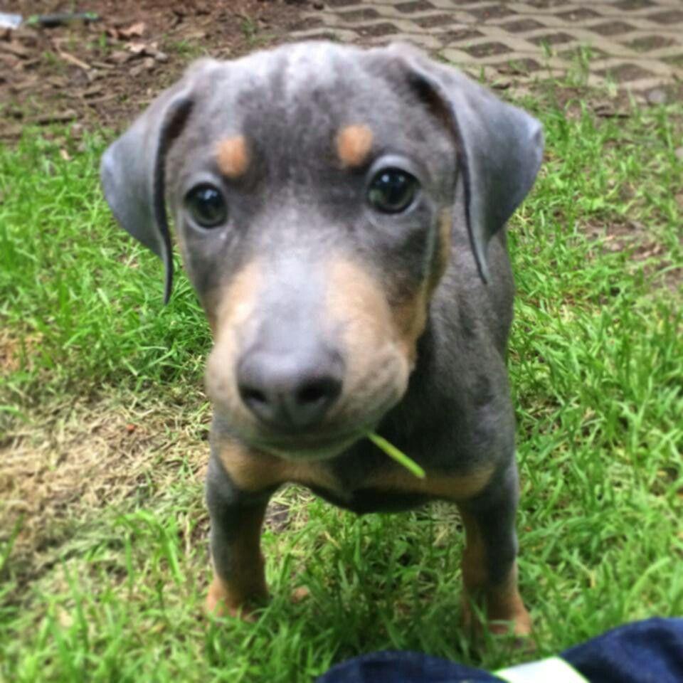 Blue Doberman puppy Doberman puppy, Dog breeds