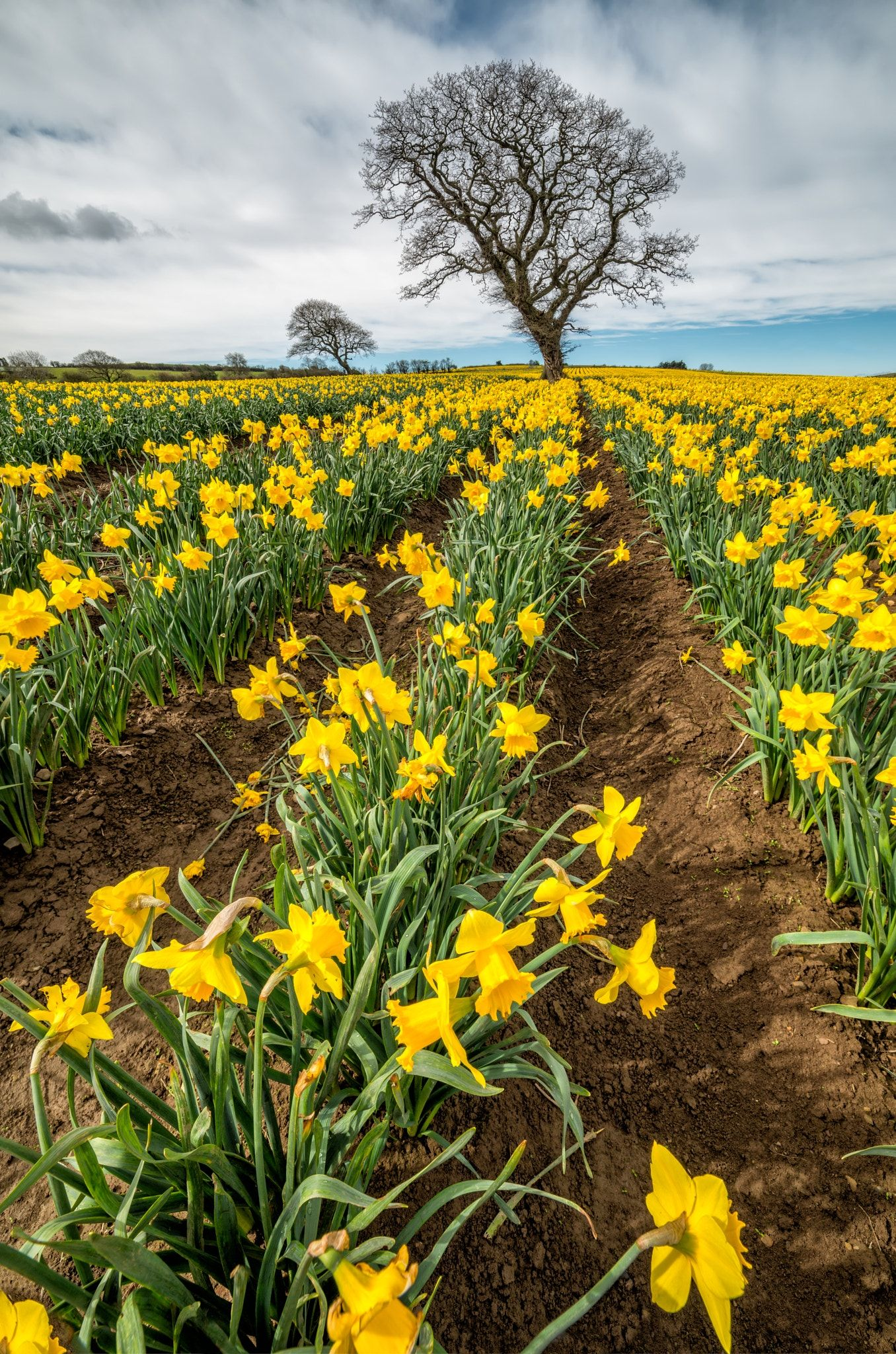 Rows Of Daffodils Trees In A Field Of Daffodils Spring Time In Wales Uk Daffodils Flower Field Beautiful Flowers