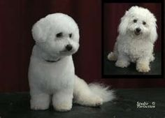 Bichon Frise Grooming Architecture Home Design
