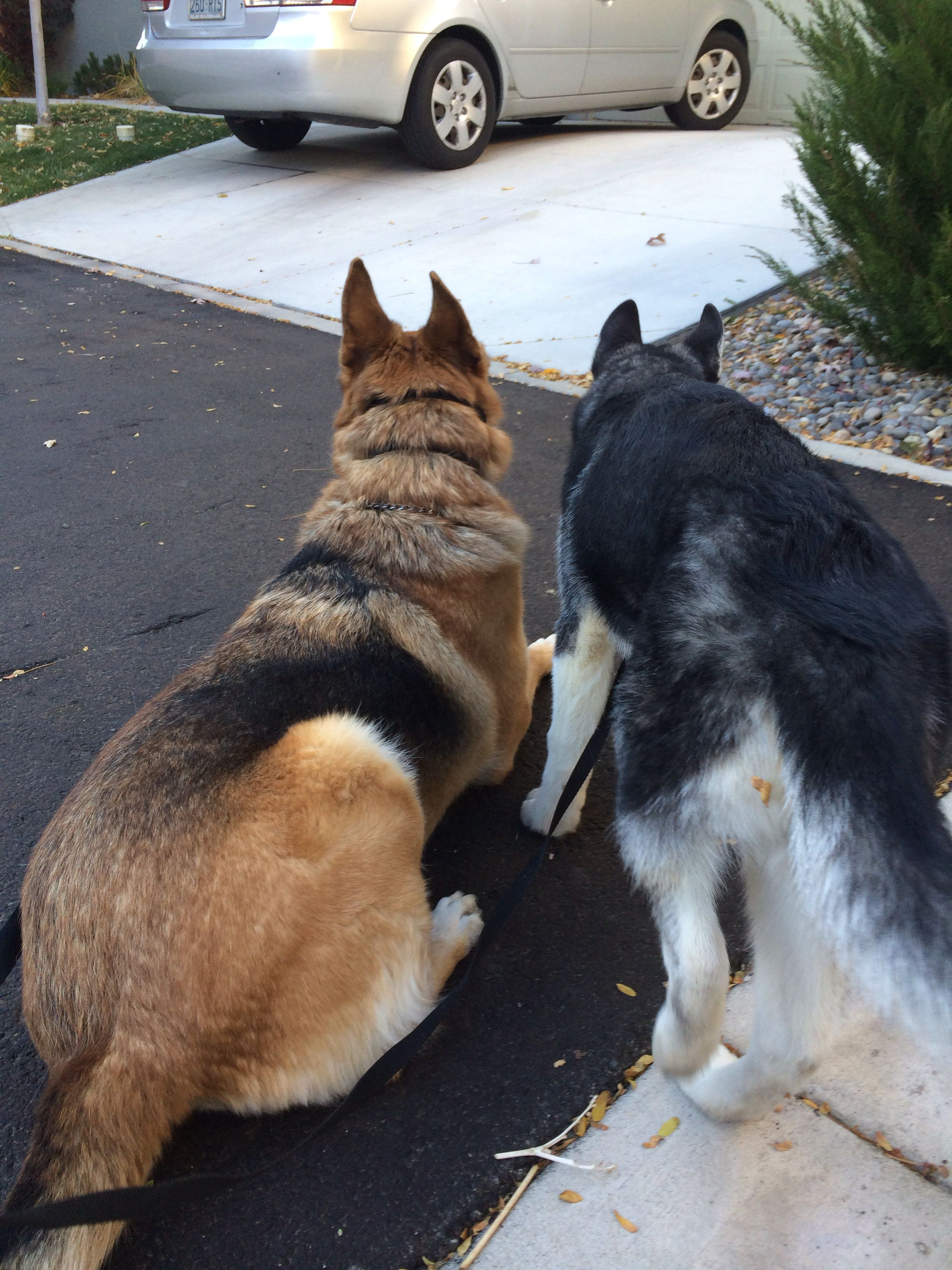 How Much To Feed A German Shepherd Husky Puppy 2021