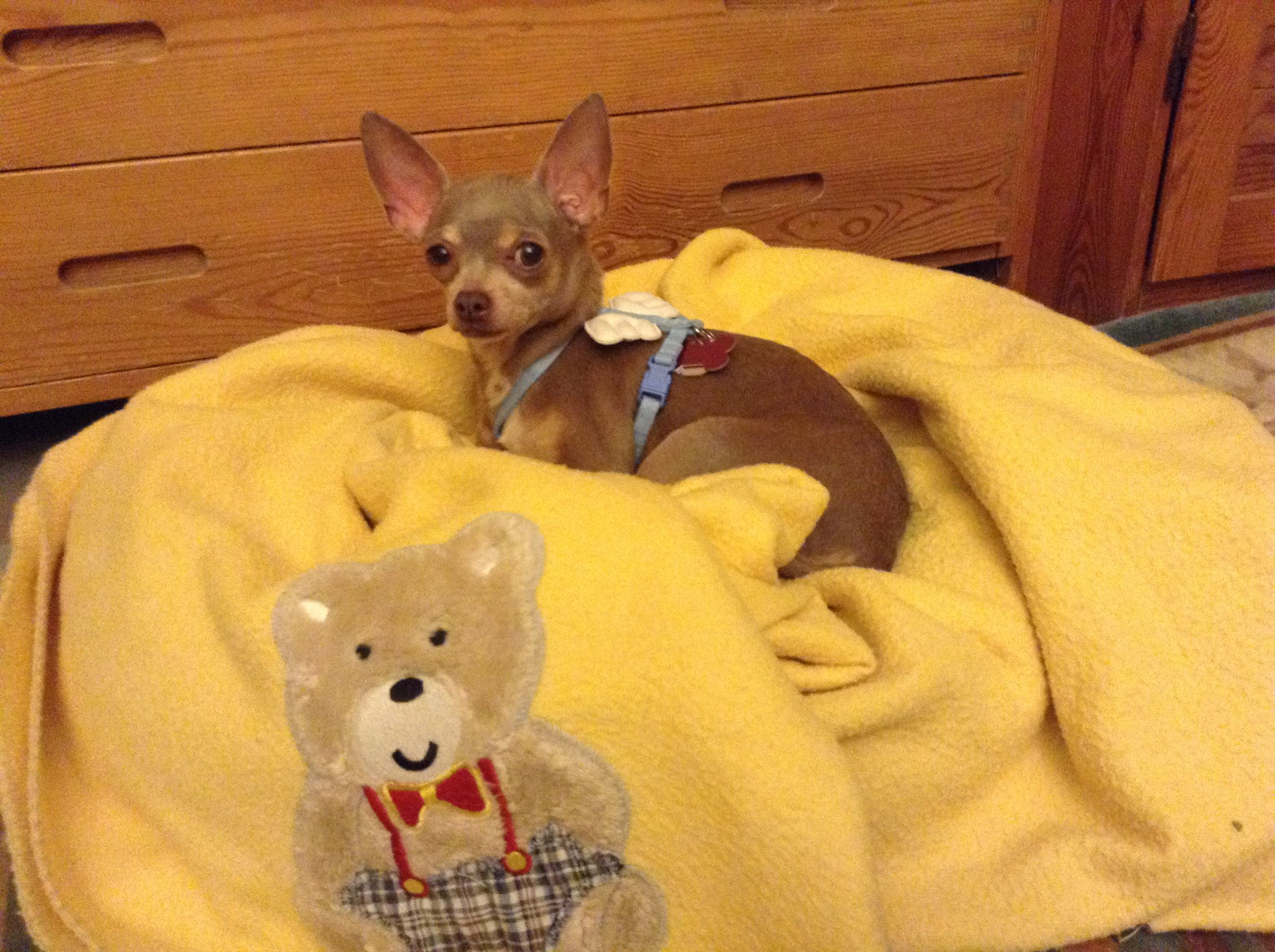 Blue From Long Island Puppy Mill Now Living With A Countess In