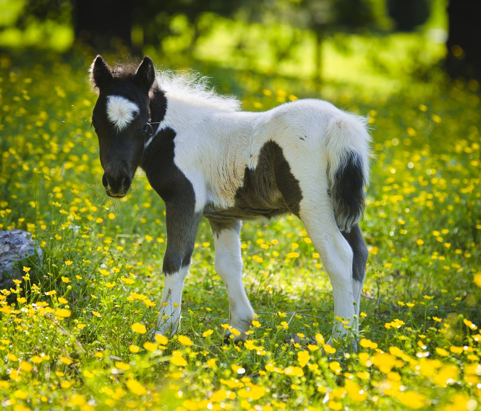 Desktopwallpaperu Miniature Horse Desktop Wallpapers Horses - Adorable miniature horses provide those in need with love and care