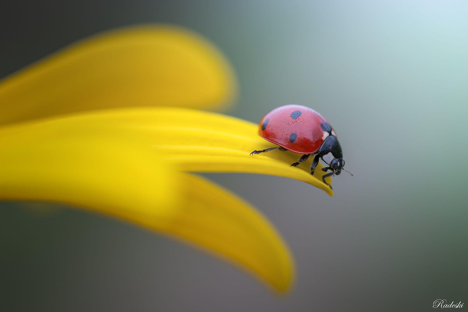 Ladybug by Roberto Aldrovandi | Fliegen, Tiere und Himmel