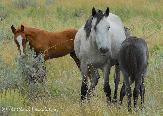 Badland Mustangs from The Cloud Foundation
