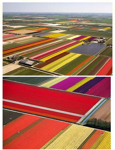 Dutch tulip fields!