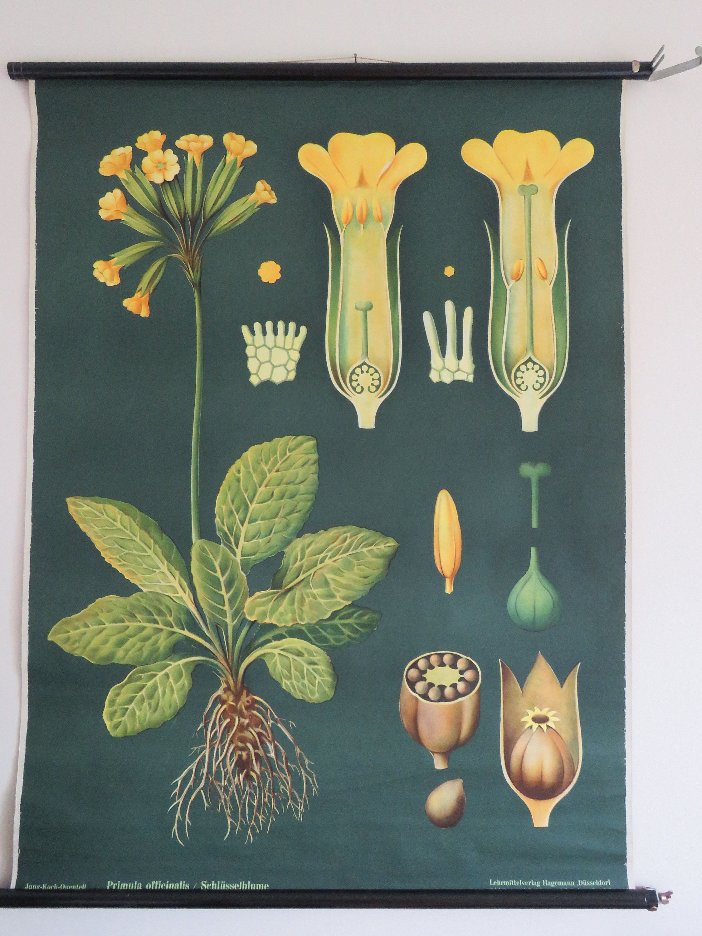 Vintage German School Chart Of Primrose By Jung Koch Quentell