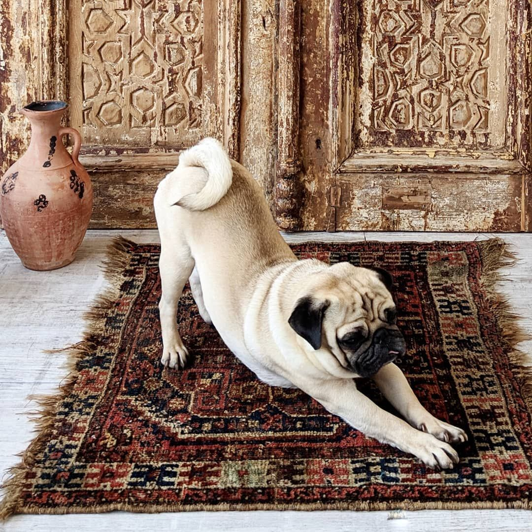 Pug Yoga Pugoftheday Bertjethepug Pugs Pug Mopshond